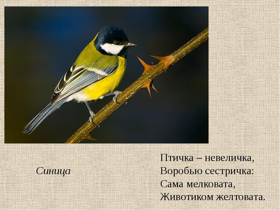 Птичка – невеличка, Воробью сестричка: Сама мелковата, Животиком желтовата. С...