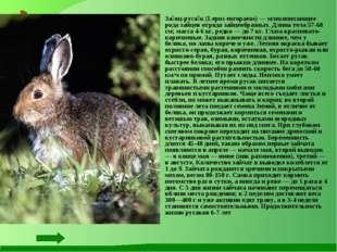 За́яц-руса́к (Lepus europaeus) — млекопитающее рода зайцев отряда зайцеобраз