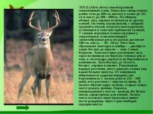 ЛОСЬ (Alces alces) самый крупный современный олень. Взрослые самцы имеют дли