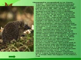 Обыкновенный ёж, или европейский, ёж (лат. Erinaceus europaeus) — млекопитающ