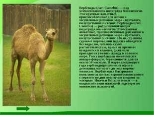 Верблюды (лат. Camelus) — род млекопитающих подотряда мозоленогие. Это крупн