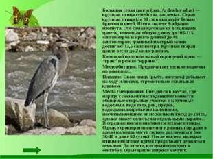 Большая серая цапля (лат. Ardea herodias) — крупная птица семейства цаплевых