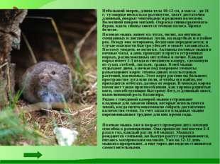 Небольшой зверек, длина тела 10-12 см, а масса - до 31 г; туловище несколько