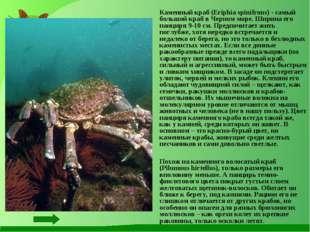 Каменный краб (Eriphia spinifrons) - самый большой краб в Черном море. Ширин