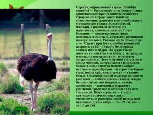 Стра́ус, африканский страус (Struthio camelus) — бескилевая нелетающая птица