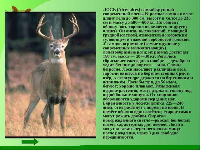 ЛОСЬ (Alces alces) самый крупный современный олень. Взрослые самцы имеют дли...