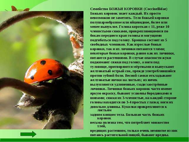 Семейство БОЖЬИ КОРОВКИ (Coccinellidae) Божьих коровок знает каждый. Их прост...