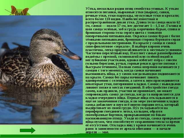 У́тка, несколько родов птиц семейства утиных. К уткам относятся пеганки, ныр...