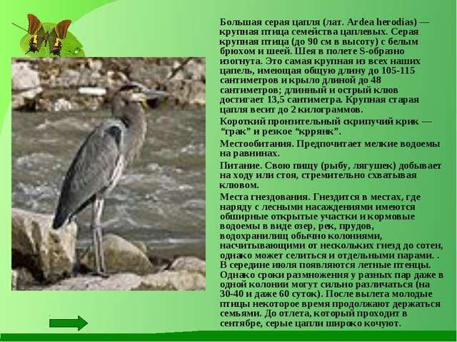 Большая серая цапля (лат. Ardea herodias) — крупная птица семейства цаплевых...