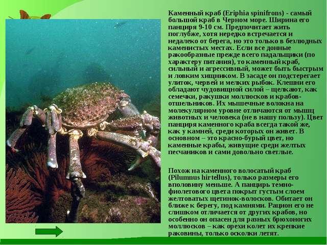 Каменный краб (Eriphia spinifrons) - самый большой краб в Черном море. Ширин...