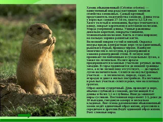 Хомяк обыкновенный (Cricetus cricetus) — единственный вид рода настоящих хом...