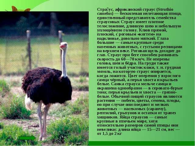 Стра́ус, африканский страус (Struthio camelus) — бескилевая нелетающая птица...