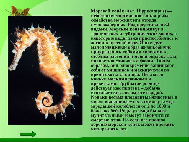 Морской конёк (лат. Hippocampus) — небольшая морская костистая рыба семейств...