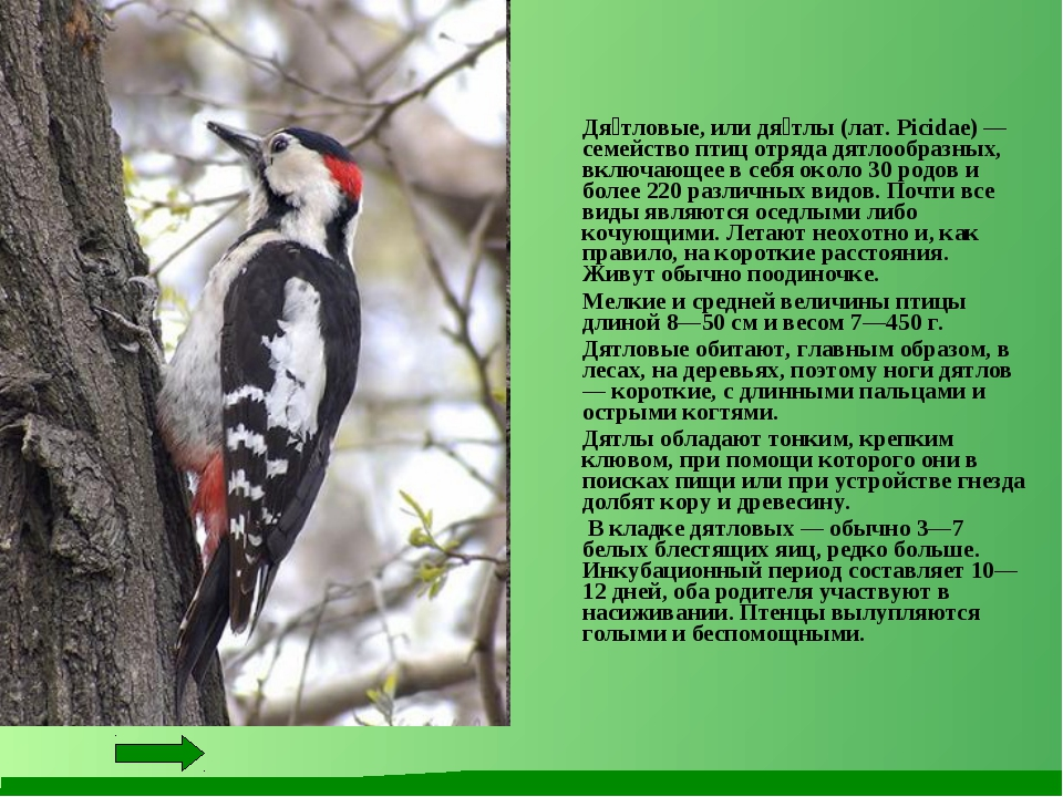 Дя́тловые, или дя́тлы (лат. Picidae) — семейство птиц отряда дятлообразных,...