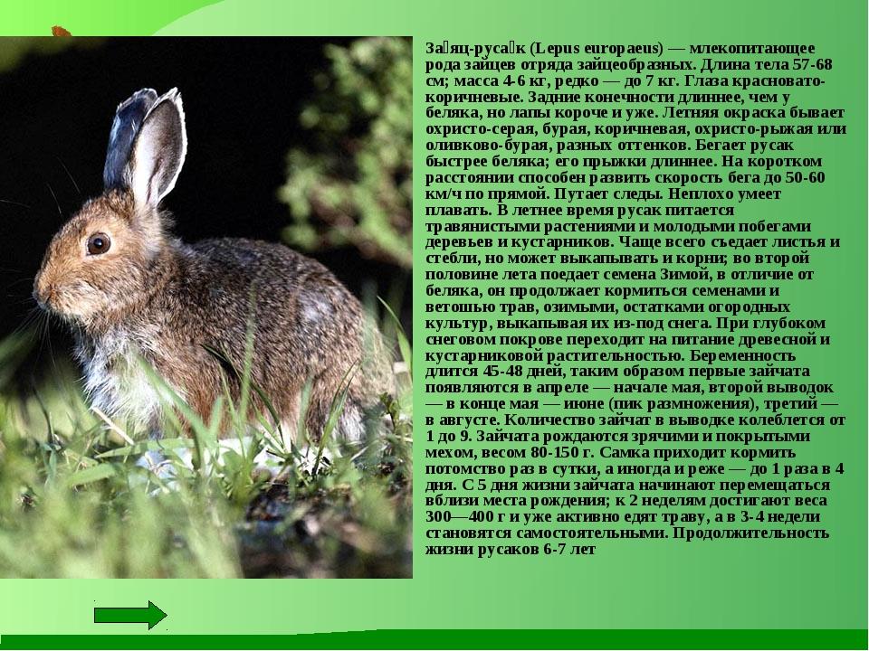 За́яц-руса́к (Lepus europaeus) — млекопитающее рода зайцев отряда зайцеобраз...