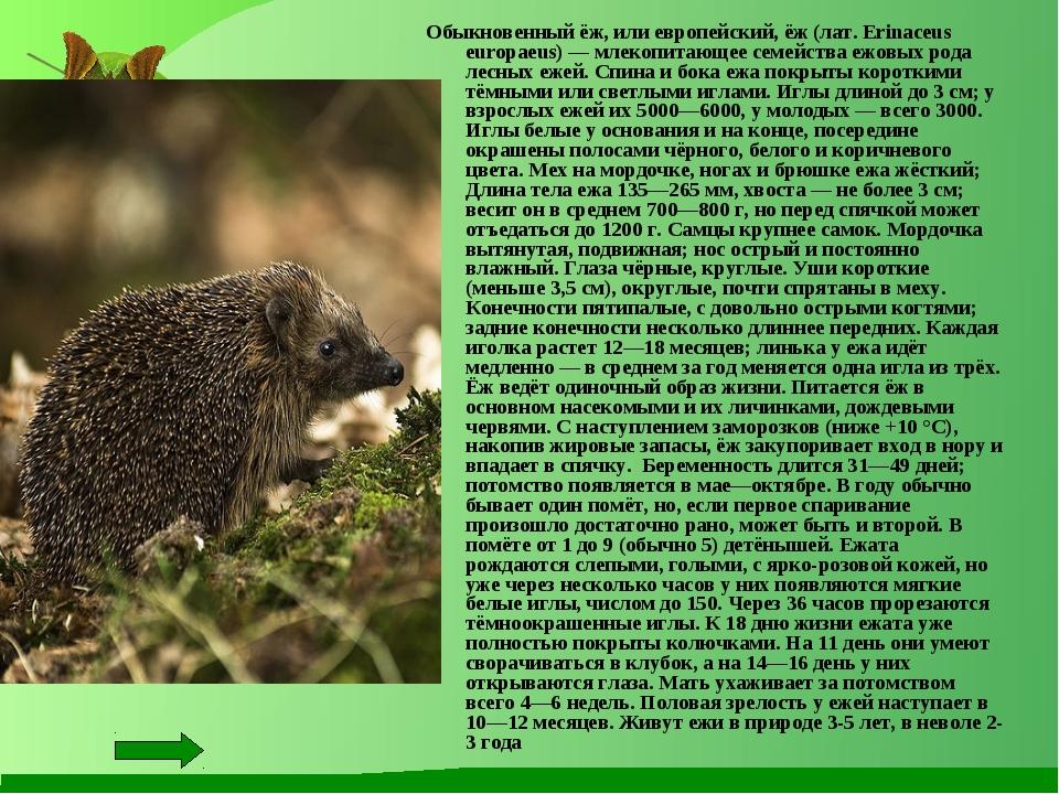 Обыкновенный ёж, или европейский, ёж (лат. Erinaceus europaeus) — млекопитающ...