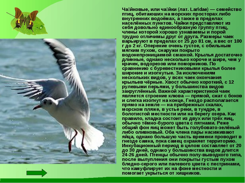 Ча́йковые, или ча́йки (лат. Laridae) — семейство птиц, обитаюших на морских...