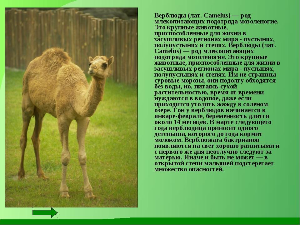 Верблюды (лат. Camelus) — род млекопитающих подотряда мозоленогие. Это крупн...