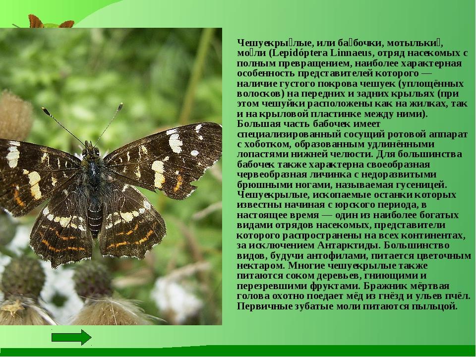 Чешуекры́лые, или ба́бочки, мотыльки́, мо́ли (Lepidóptera Linnaeus, отряд на...