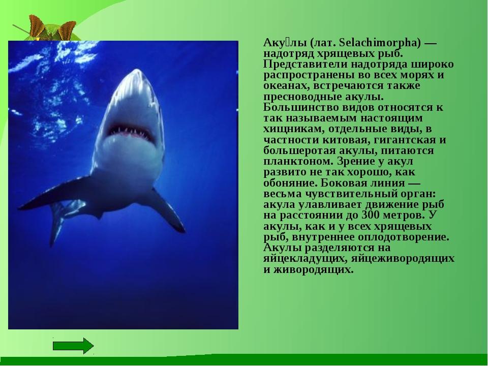 Аку́лы (лат. Selachimorpha) — надотряд хрящевых рыб. Представители надотряда...