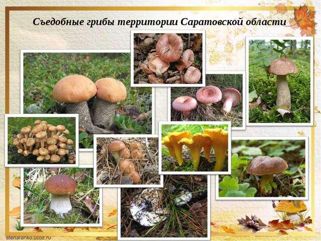 Съедобные грибы территории Саратовской области