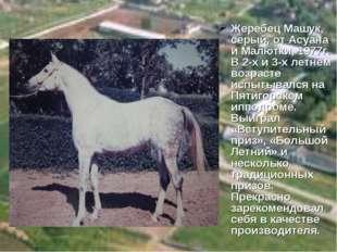 Жеребец Машук, серый, от Асуана и Малютки, 1977г. В 2-х и 3-х летнем возрасте