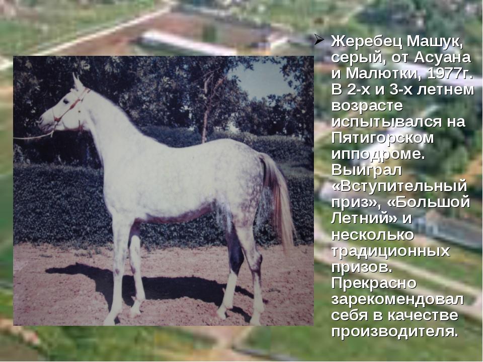 Жеребец Машук, серый, от Асуана и Малютки, 1977г. В 2-х и 3-х летнем возрасте...