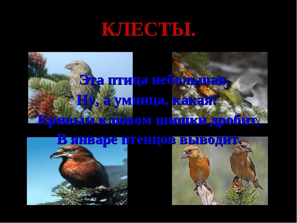 КЛЕСТЫ. Эта птица небольшая, Ну, а умница, какая! Кривым клювом шишки дробит,...