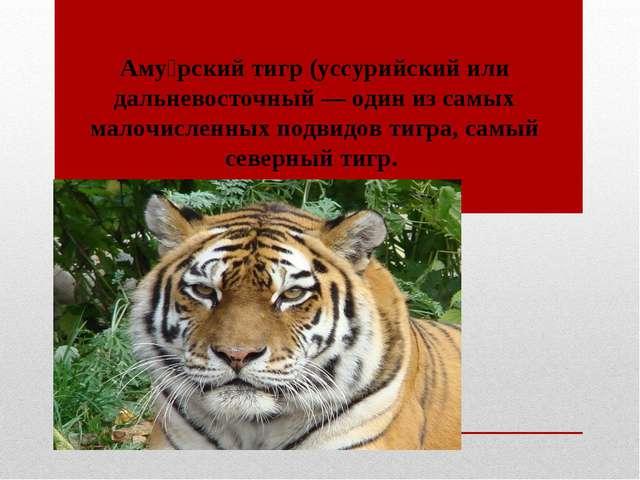 Аму́рский тигр (уссурийский или дальневосточный — один из самых малочисленных...