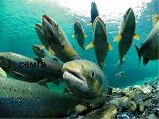 Ввидовом составе моря преобладают навага, беломорская сельдь, корюшка, треск