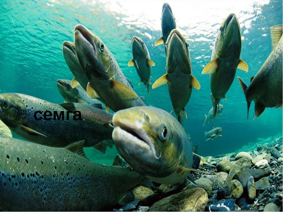 Ввидовом составе моря преобладают навага, беломорская сельдь, корюшка, треск...