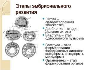 Этапы эмбрионального развития Зигота – оплодотворенная яйцеклетка Дробление –