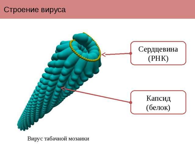 Строение вируса Вирус табачной мозаики Сердцевина (РНК) Капсид (белок) Вирусы...