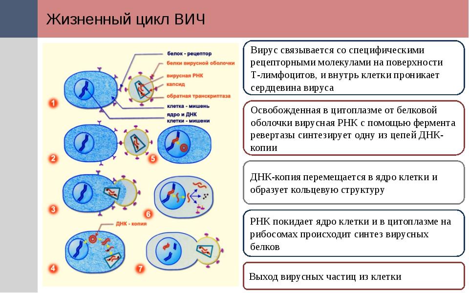 Жизненный цикл ВИЧ Вирус связывается со специфическими рецепторными молекулам...
