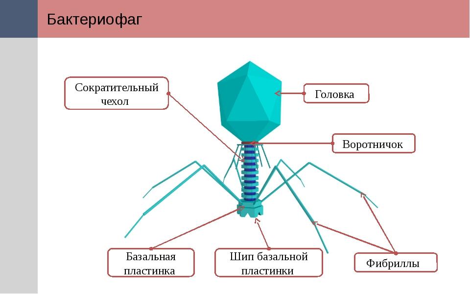 Бактериофаг Головка Воротничок Шип базальной пластинки Базальная пластинка Со...