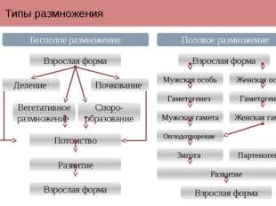 Типы размножения Бесполое размножение Половое размножение Взрослая форма Взро