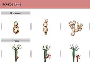 Почкование Дрожжи Гидра Почкование— типбеспологоиливегетативногоразмноже