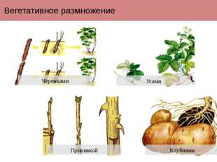 Вегетативное размножение Прививкой Черенками Усами Клубнями Вегетативное разм