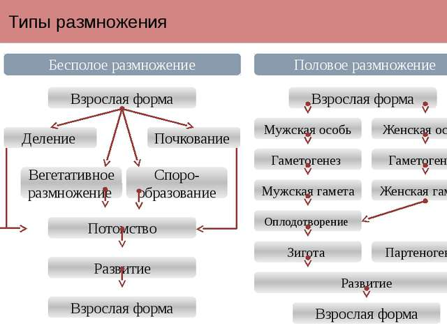 Типы размножения Бесполое размножение Половое размножение Взрослая форма Взро...