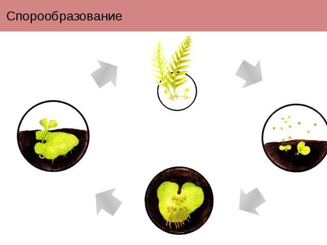 Спорообразование Размножение спорами характерно для споровых растений (водоро...