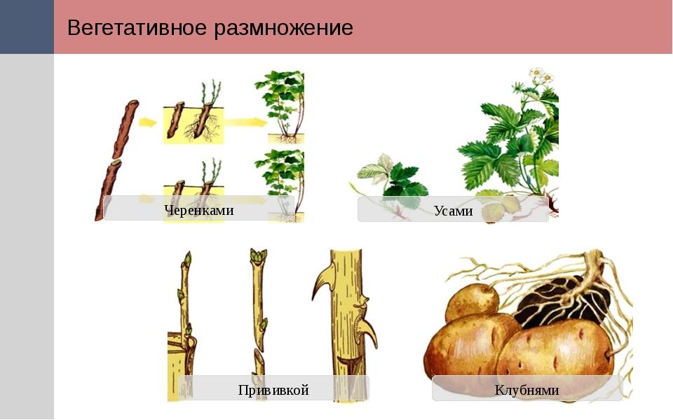 Вегетативное размножение Прививкой Черенками Усами Клубнями Вегетативное разм...