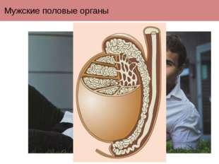 Мужские половые органы