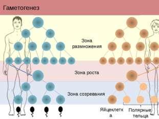 Гаметогенез Полярные тельца Яйцеклетка Зона размножения Зона роста Зона созре