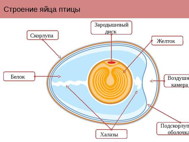 Строение яйца птицы Зародышевый диск Скорлупа Воздушная камера Белок Желток Х...