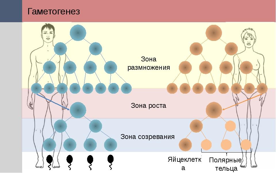 Гаметогенез Полярные тельца Яйцеклетка Зона размножения Зона роста Зона созре...