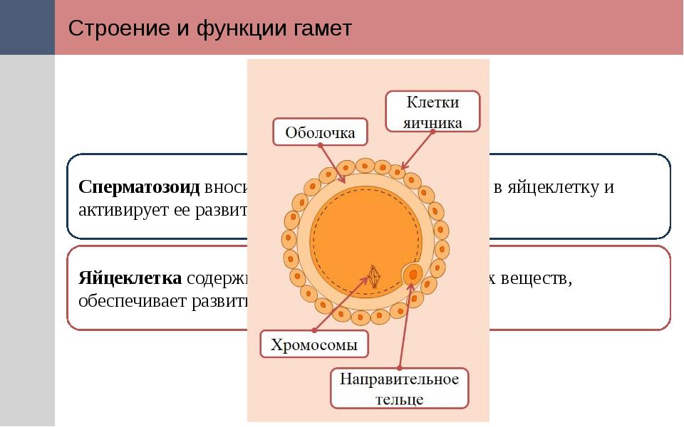 Строение и функции гамет Сперматозоид вносит генетическую информацию в яйцекл...