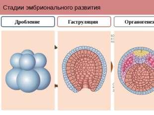 Стадии эмбрионального развития Дробление Гаструляция Органогенез