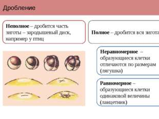 Дробление Неполное – дробится часть зиготы – зародышевый диск, например у пти