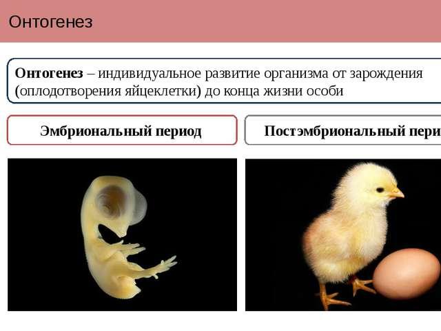Онтогенез Онтогенез – индивидуальное развитие организма от зарождения (оплодо...