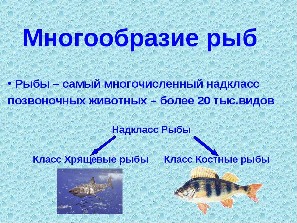Многообразие рыб Рыбы – самый многочисленный надкласс позвоночных животных –...